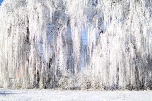 Weidengruppe im Winter – Rosdorf / Tiefittigbreite